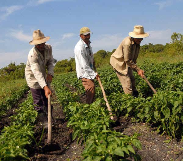 La agricultura cubana fue uno de los sectores que aportó al crecimiento del Producto Interno Bruto (PIB)